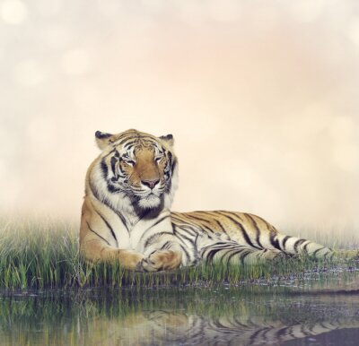 Quadro Maschio Tiger riposo