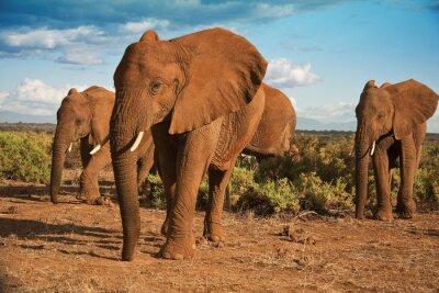 Quadro Matriarcato elefante africano contro un cielo blu