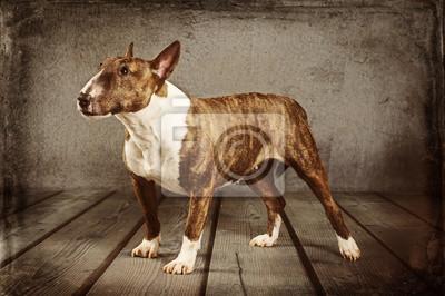 Quadro Miniatur Bull Terrier