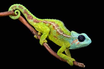 Quadro Mount Hanang Chameleon (trioceros hanangensis)