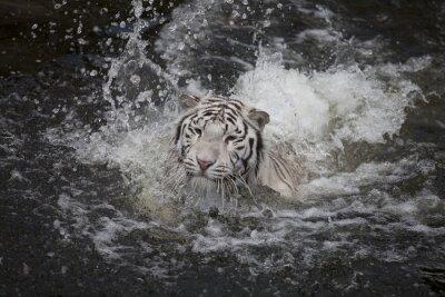 Quadro Nuoto tigre bianca
