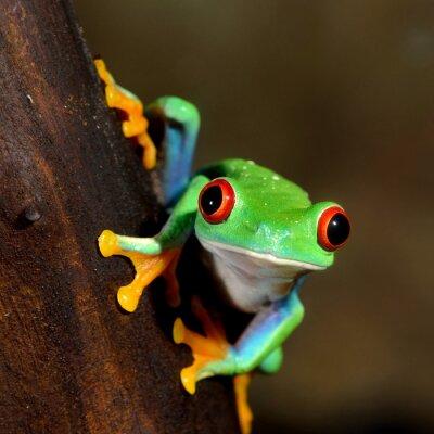 Quadro occhi rossi rana anfibio anfibio in terrario