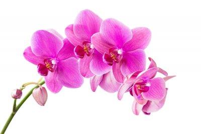 Quadro Orchidea