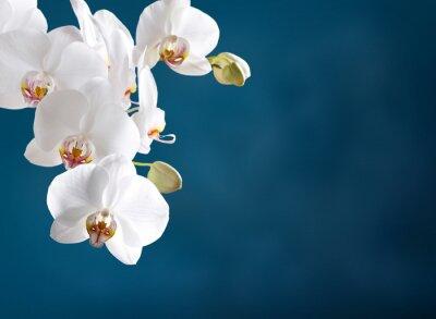 Quadro Orchidea bianca