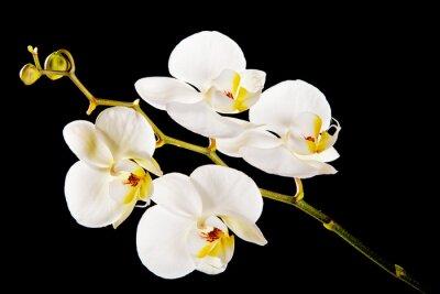 Quadro Orchidea bianca con centro giallo