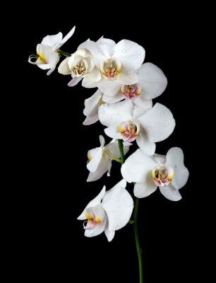 Quadro Orchidea bianca su sfondo nero