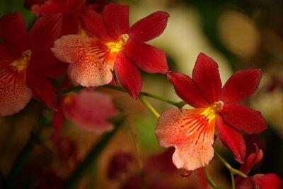 Quadro Orchidées à fleurs rouge et jaune