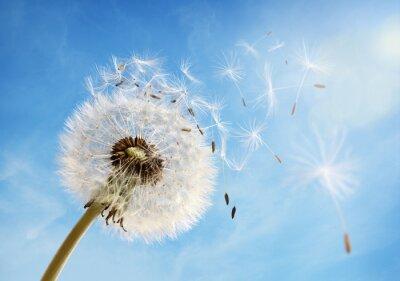 Quadro Orologio Dandelion dispersione di semi