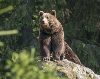 Quadro orso bruno maschio