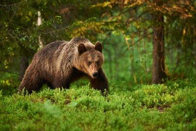 Quadro Orso bruno nella foresta