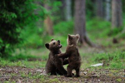 Quadro Orso cuccioli Brown che giocano nella foresta