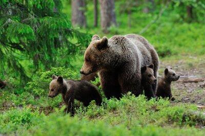 Quadro Orso di Brown con i cuccioli nella foresta