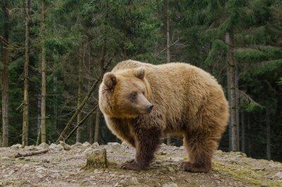 Quadro Orso è alla ricerca di primavera nella foresta