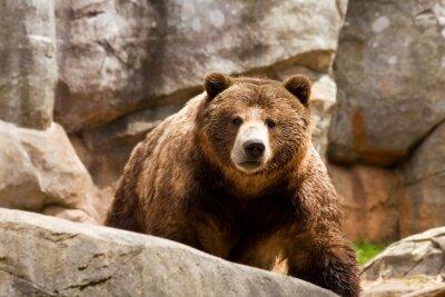 Quadro Orso grizzly