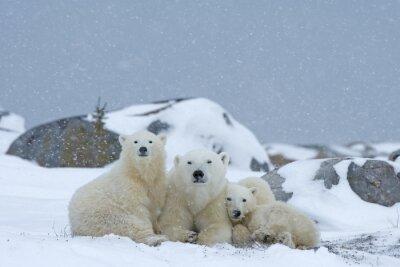 Quadro Orso polare con i cuccioli