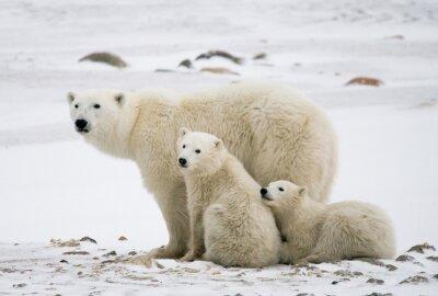 Quadro Orso polare con un cuccioli nella tundra. Canada. Un ottimo esempio.