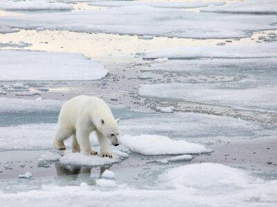 Quadro Orso polare in ambiente naturale