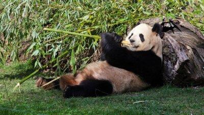 Quadro Oso Panda Tumbado comiendo bambù