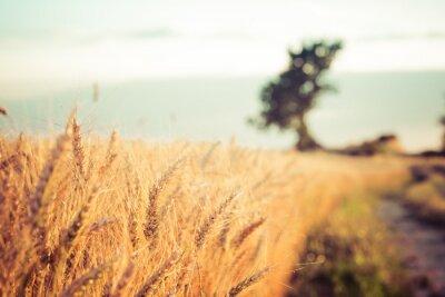 Quadro Paesaggio di campagna e campi di grano al tramonto