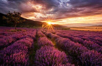 Quadro Paesaggio mozzafiato con campo di lavanda all'alba