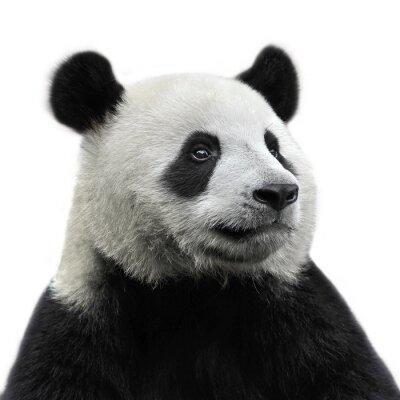 Quadro Panda Bear isolato su sfondo bianco