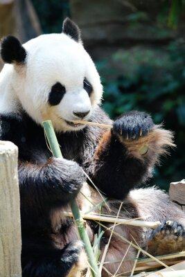 Quadro Panda orso mangia bambù