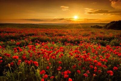 Quadro Papavero di campo al tramonto