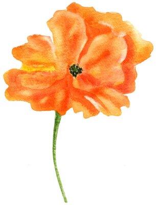Quadro papavero Orange. pittura ad acquerello, isolato su sfondo bianco
