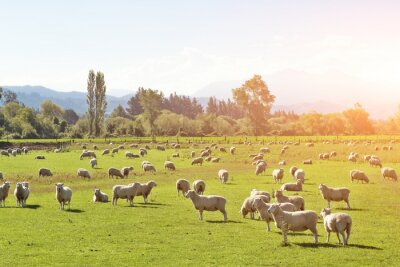 Quadro pascolo con gli animali in estate giornata di sole in Nuova Zelanda