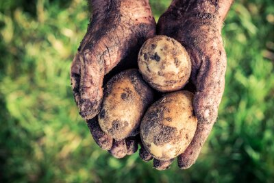 Quadro patate mature in mano