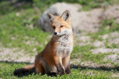Quadro petit renard roux