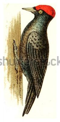 Quadro Picchio nero, illustrazione incisa d'epoca. Dall'atlante Deutch Birds of Europe.