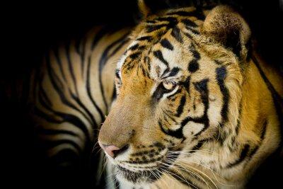 Quadro Primo piano di tigre