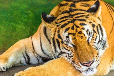 Quadro Primo piano di un grande tigre dorme in esterno, Thailandia, Asia.