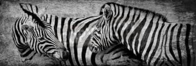 Quadro Primo piano di zebre al pascolo su prato secco