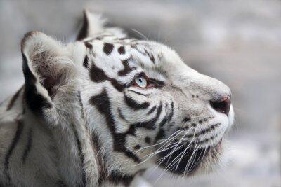 Quadro Primo piano ritratto di una tigre bianca del Bengala. La più bella e la bestia animale molto pericoloso del mondo. Questo grave rapace è una perla della fauna selvatica. volto ritratto degli animali.
