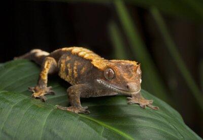 Quadro Profilo Crested Gecko Side