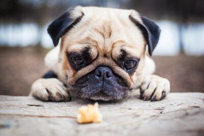 Quadro Pug sveglio cucciolo di cane