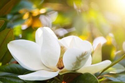 Quadro Ramo con un fiore di una magnolia bianca da vicino