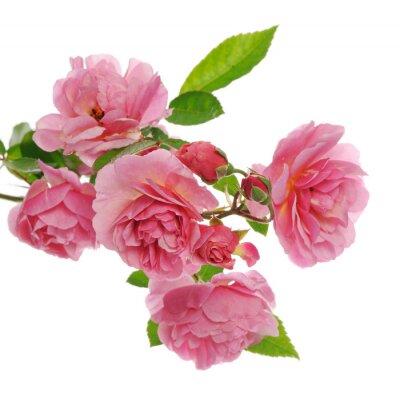 Quadro ramo di arrampicata rosa