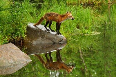 Quadro Red Fox e la riflessione acqua circondato da verde.