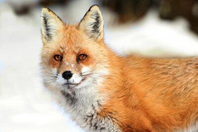 Quadro Red Fox (vulpes)