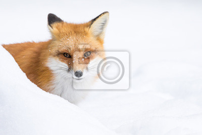 Quadro Red Fox, Vulpes vulpes, sbirciando da dietro una banca di neve