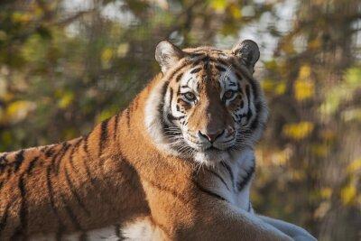 Quadro Riposo della tigre indiana