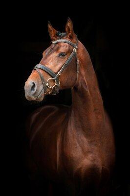 Quadro Ritratto di baia stallion su sfondo nero