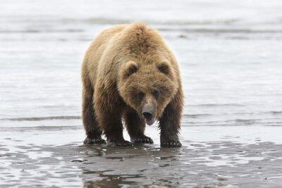 Quadro Ritratto di selvaggio libero orso bruno in roaming