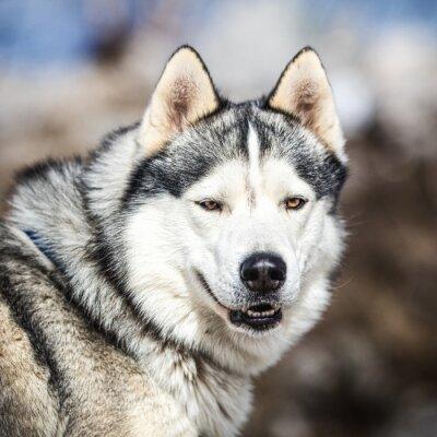 Quadro Ritratto di un cane da slitta, cane Husky