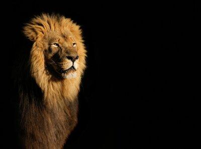 Quadro Ritratto di un grande uomo leone africano (Panthera leo), contro uno sfondo nero, Sud Africa.