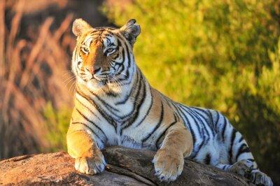 Quadro Ritratto di una tigre