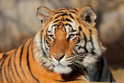Quadro Ritratto di una tigre del Bengala (Panthera tigris bengalensis).